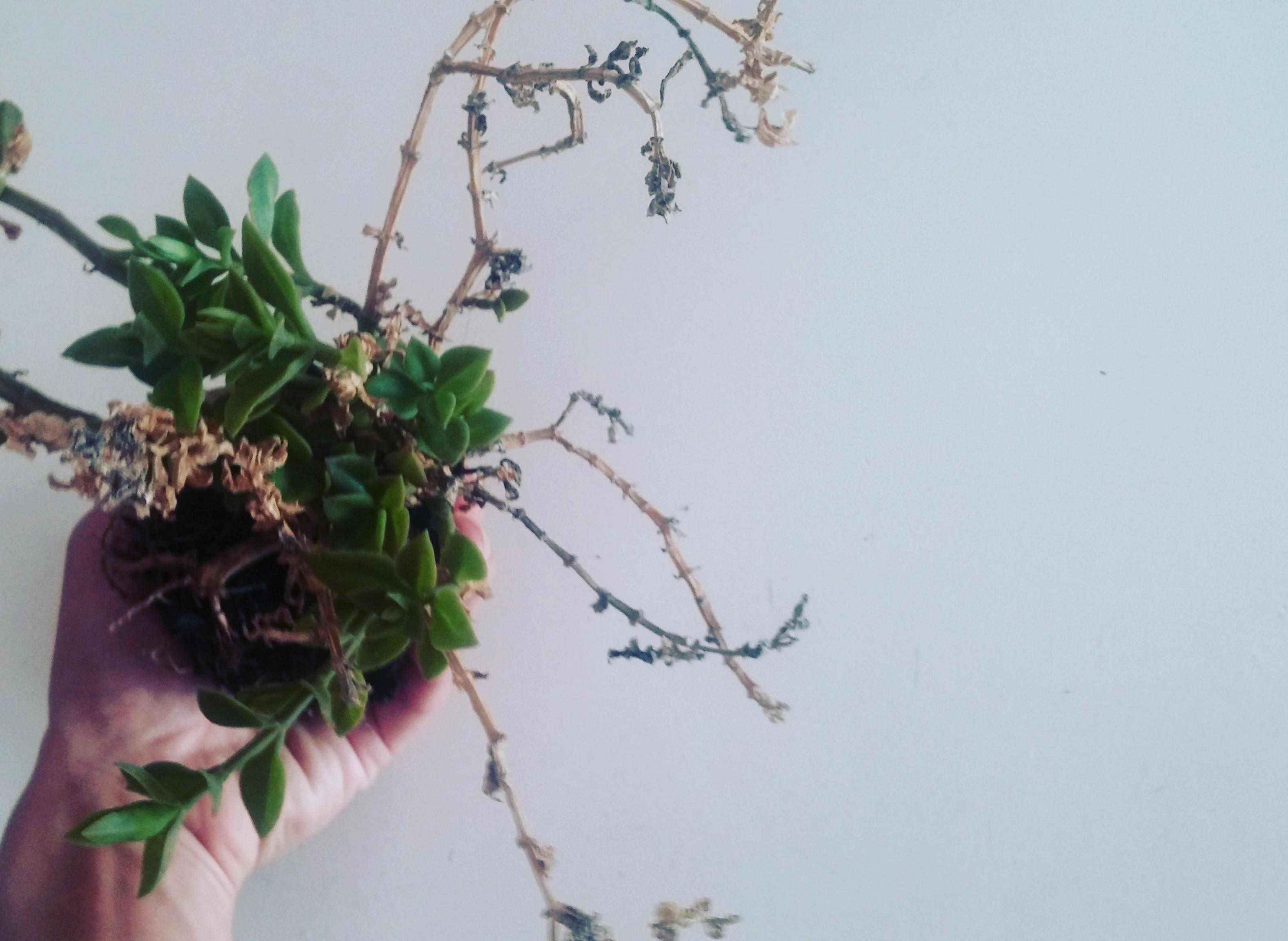 Kokedama fai da te: l'arte vegetale giapponese delle piante volanti